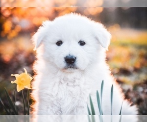 Maremma Sheepdog Puppy for Sale in STRAFFORD, Missouri USA