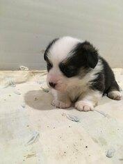 Pembroke Welch Corgi puppy for sale