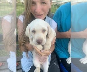 Labrador Retriever Puppy for sale in ANAHEIM, CA, USA