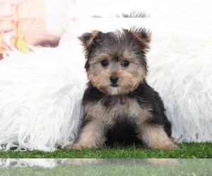 Morkie Puppy for sale in MARIETTA, GA, USA