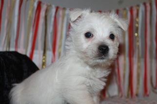 West Highland White Terrier Puppy For Sale in GOSHEN, IN