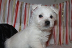West Highland White Terrier Puppy For Sale in GOSHEN, IN