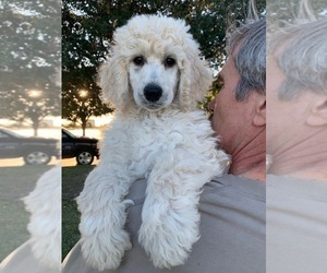 Poodle (Standard) Puppy for Sale in BRYAN, Texas USA