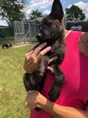 Dutch Shepherd Dog-German Shepherd Dog Mix Puppy For Sale in VALDOSTA, GA, USA