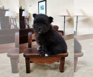 Pomeranian Puppy for sale in MONTEREY, CA, USA