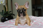 French Bulldog Puppy For Sale in DANIA, Florida,