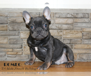 French Bulldog Dog for Adoption in CHANDLER, Arizona USA