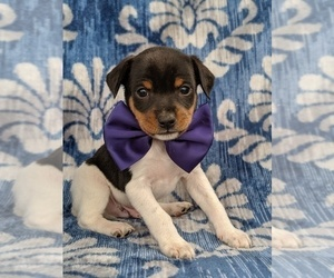 Fox Terrier (Toy) Puppy for sale in LANCASTER, PA, USA