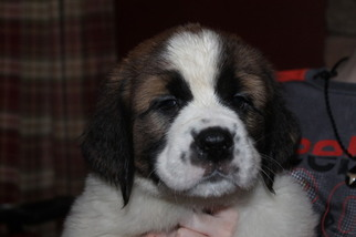 Saint Bernard Puppy For Sale in CHRISTIANA, PA