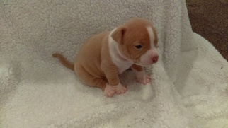 American Bully Puppy For Sale in ELYSBURG, PA