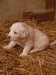 Great Pyrenees Puppy For Sale in WAPELLO, Iowa,