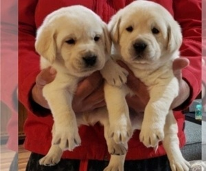 Labrador Retriever Puppy for sale in OTHELLO, WA, USA