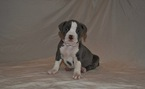 American Pit Bull Terrier Puppy For Sale in LOUISVILLE, KY, USA