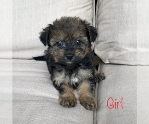 Pom-A-Poo-Pomeranian Mix Dog for Adoption in RICHMOND, Michigan USA