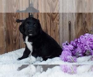 Labrador Retriever Puppy for Sale in SUGARCREEK, Ohio USA