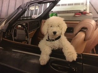 Poodle (Standard) Puppy For Sale in CHARLESTOWN, RI, USA