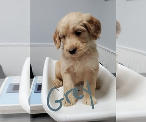 Goldendoodle Puppy for sale in PRAIRIEVILLE, LA, USA