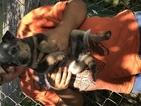 Australian Cattle Dog Puppy For Sale in RANDOLPH, VT, USA
