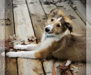 Collie Puppy for sale in PARIS, MI, USA