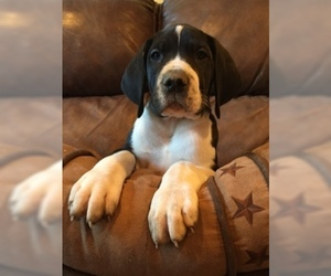 Great Dane Puppy For Sale in BUNCETON, MO, USA