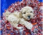 Small #17 Poodle (Miniature)