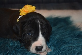 Great Dane Puppy For Sale in CEDAR HILL, TN, USA