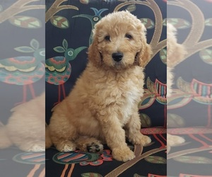 Labradoodle Puppy for Sale in WASH, North Carolina USA