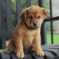 Puppyfinder com: Cava Inu puppies puppies for sale near me
