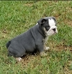 English Bulldog Puppy For Sale in ROMA, TX, USA