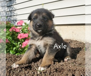 German Shepherd Dog Puppy for sale in COLBY, WI, USA