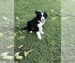 Puppy 1 Border Collie
