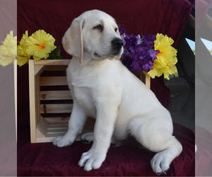 Labrador Retriever Puppy for sale in MILLERSBURG, OH, USA