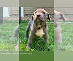 Puppy 8 American Bully