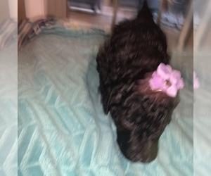 Goldendoodle-Poodle (Standard) Mix Dog for Adoption in LEDBETTER, Kentucky USA