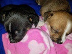 Chihuahua Puppy For Sale in ARLINGTON, TX