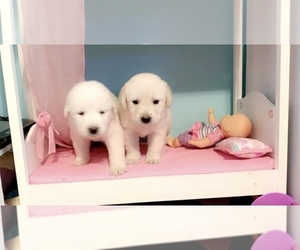 Great Pyrenees-Labrador Retriever Mix Puppy for Sale in VILLE PLATTE, Louisiana USA