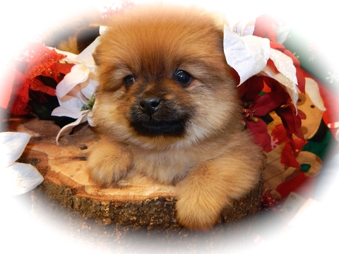 pomeranian chicago view ad pomeranian puppy for sale near illinois chicago 8927