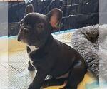 Small Photo #9 French Bulldog Puppy For Sale in CAPE CORAL, FL, USA