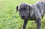 Presa Canario Puppy For Sale in GLASGOW, KY, USA