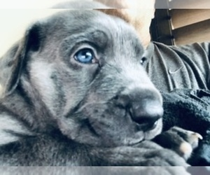 Cane Corso-Daniff Mix Puppy for Sale in MESA, Arizona USA