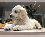 Goldendoodle Puppy For Sale in SOUTHBURY, CT, USA