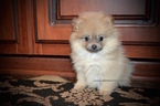 Pomeranian Puppy For Sale in GRAYSON, LA, USA