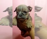 Small #28 English Bulldog