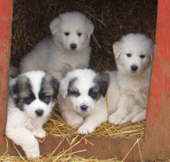Great Pyredane Puppy For Sale in BEALETON, VA