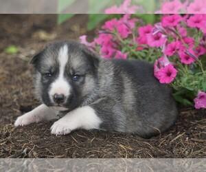 German Shepherd Dog-Siberian Husky Mix Dog for Adoption in FREDERICKSBG, Ohio USA