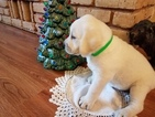 Labrador Retriever Puppy For Sale in COEUR D ALENE, ID