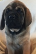 Mastiff Puppy For Sale in APOLLO, PA, USA