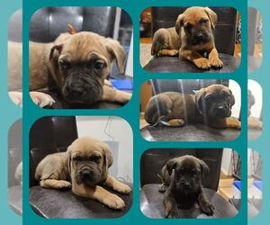 Cane Corso Puppy for sale in WINDSOR MILL, MD, USA