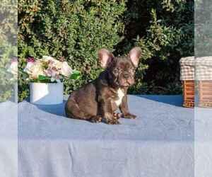 French Bulldog Puppy for Sale in NEEDHAM, Massachusetts USA