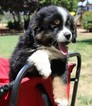 Miniature Australian Shepherd Puppy For Sale in CLOVIS, California,